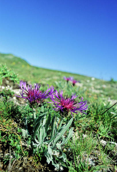 Cornflowers Photograph - Cornflower (centaurea Triumfetti) by Bruno Petriglia/science Photo Library