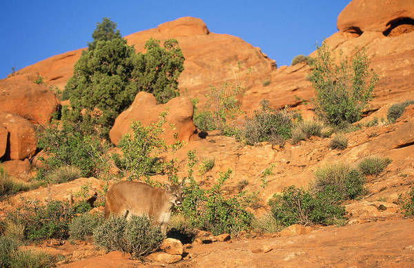 Catamount Photograph - Cougar Or Mountain Lion by M. Watson