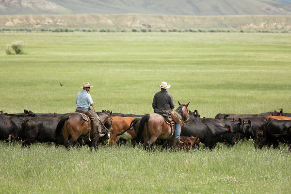 Domesticated Photograph - Cowboys Herding On A Cattle Ranch by Jim West