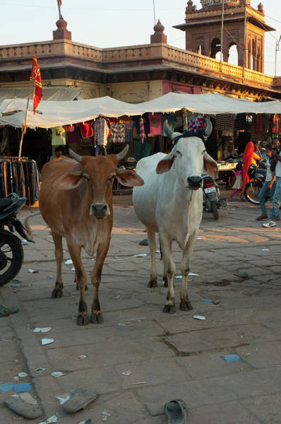 Jodhpur Wall Art - Photograph - Cows In The Market, Sardar Market by Inger Hogstrom