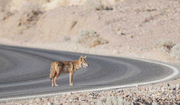 Photograph - Coyote by Dan Suzio