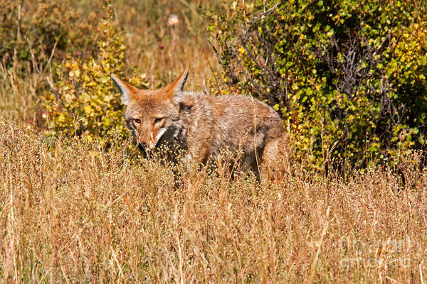 Photograph - Coyote In Rocky Mountain National Park by Fred Stearns