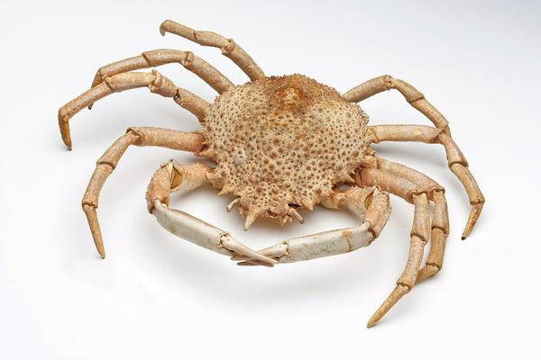Wall Art - Photograph - Crab Exoskeleton Specimen by Ucl, Grant Museum Of Zoology