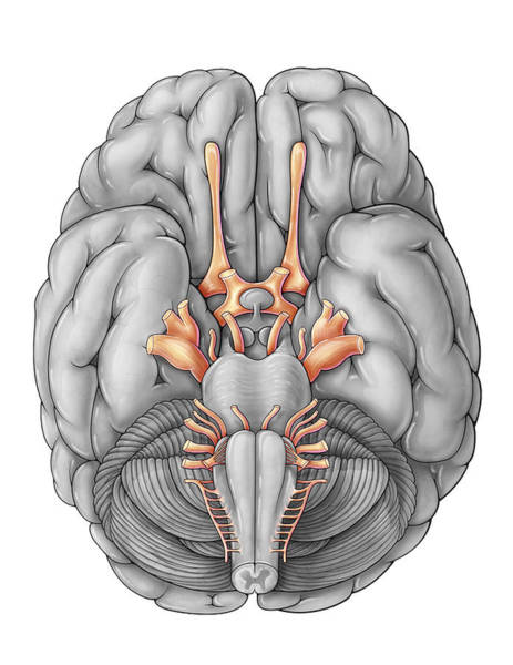 Photograph - Cranial Nerves, Illustration by Evan Oto