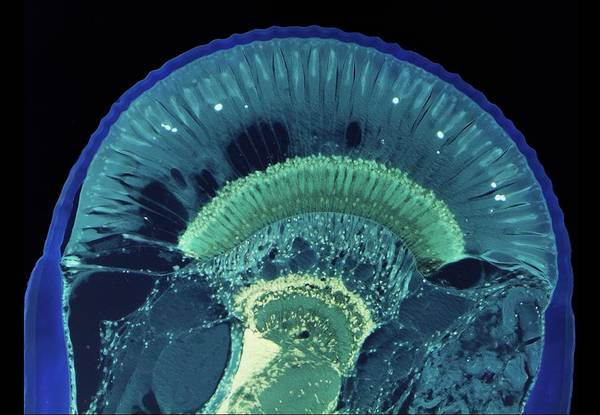 Marine Layer Photograph - Crayfish Compound Eye by Steve Gschmeissner/science Photo Library
