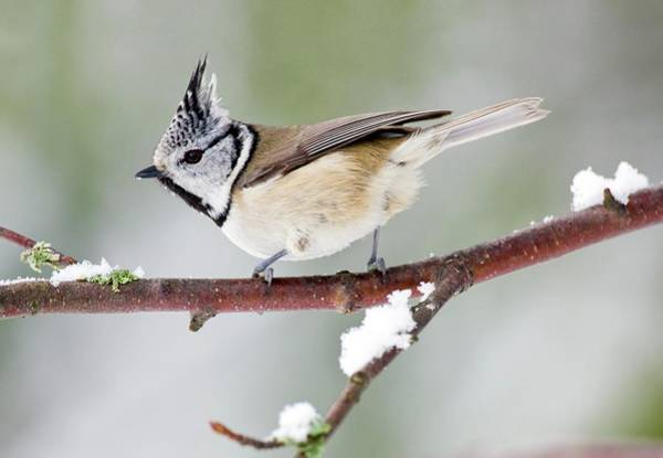Tit Photograph - Crested Tit by John Devries/science Photo Library
