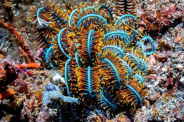 Feather Stars Photograph - Crinoid by Georgette Douwma/science Photo Library