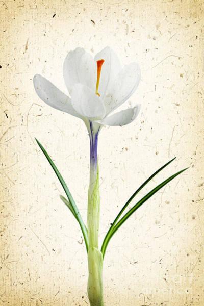 Photograph - Crocus Flower by Elena Elisseeva