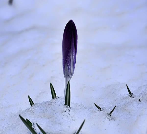 Photograph - Crocus In Snow by Leif Sohlman