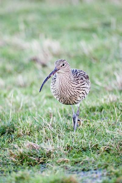 Scolopacidae Photograph - Curlew by John Devries/science Photo Library