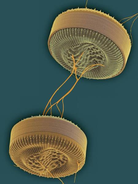 Filamentous Algae Photograph - Cyclotella Marine Diatom by Dennis Kunkel Microscopy/science Photo Library