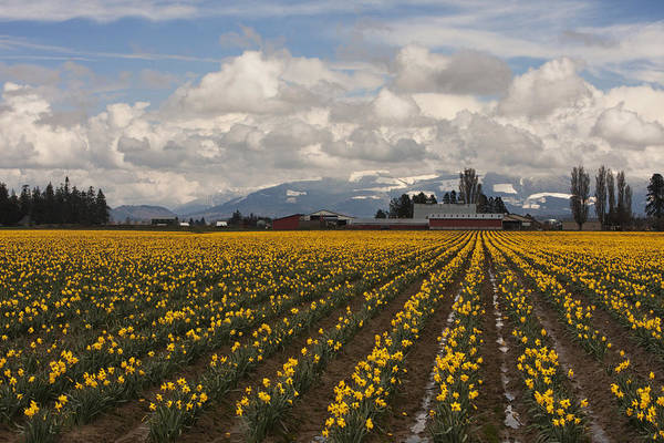 Photograph - Daffodils Forever by Mark Kiver