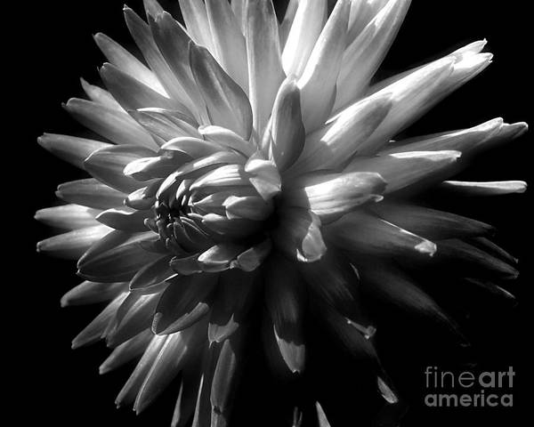 Photograph - Dahlia Flower In Black And White by Smilin Eyes  Treasures