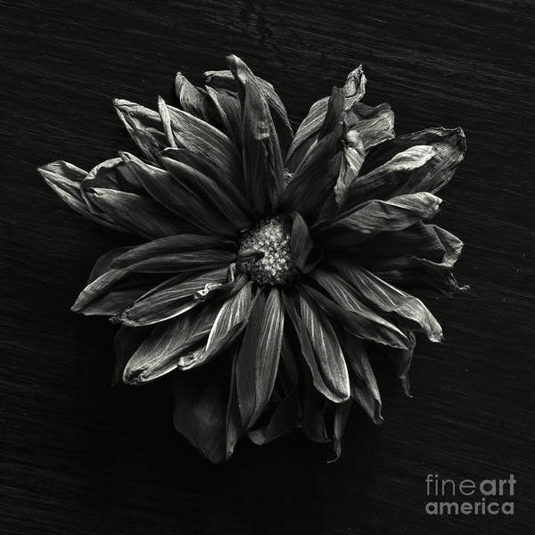 Wall Art - Photograph - Dahlia by HD Connelly