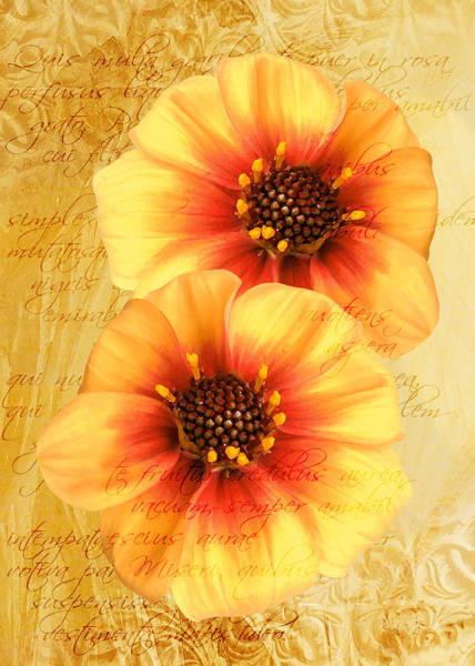 Photograph - Dahlias by Helene U Taylor