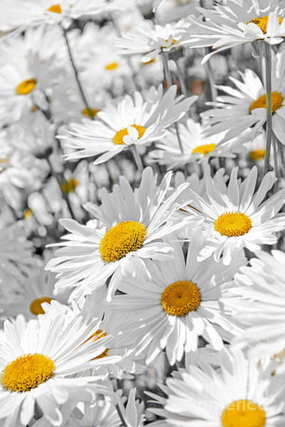 Wall Art - Photograph - Daisies In Garden by Elena Elisseeva