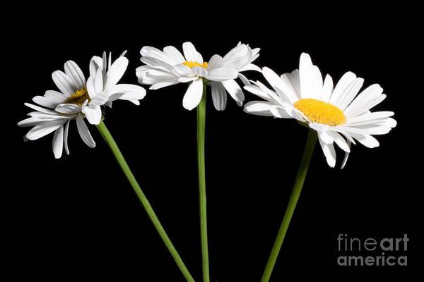 Photograph - Daisy Bouquet by Cindy Singleton