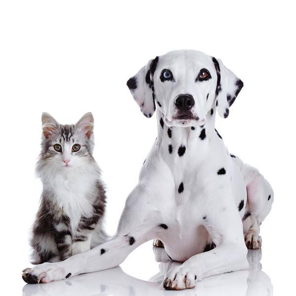 Dalmatian Dog Photograph - Dalmatian Dog And Norwegian Forest Cat by Tetsuomorita