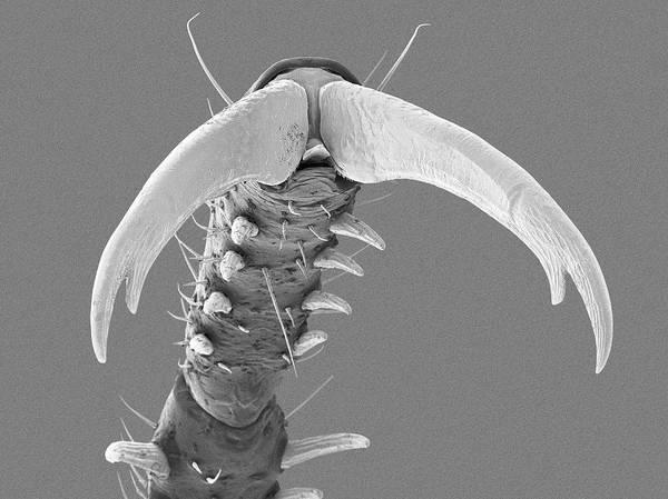 Triples Photograph - Damselfly Tarsal Claw by Dennis Kunkel Microscopy/science Photo Library