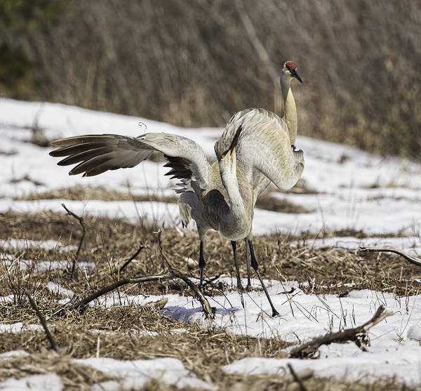 Photograph - Dancing Crane by Thomas Young