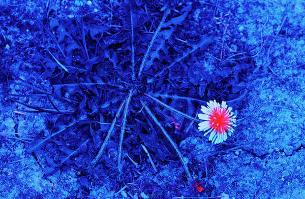 Taraxacum Photograph - Dandelion In Uv Light by Bjorn Rorslett/science Photo Library