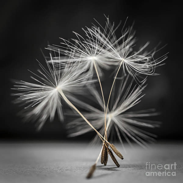 Seed Head Wall Art - Photograph - Dandelion Seeds by Elena Elisseeva