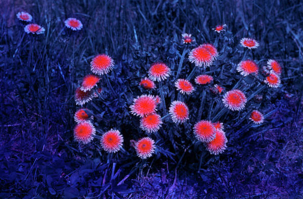 Taraxacum Photograph - Dandelions In Uv Light by Bjorn Rorslett/science Photo Library