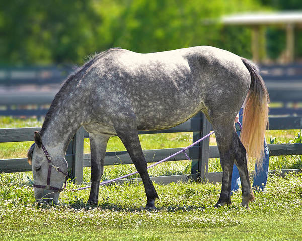 Photograph - Dapple Grey Horse by Mary Almond