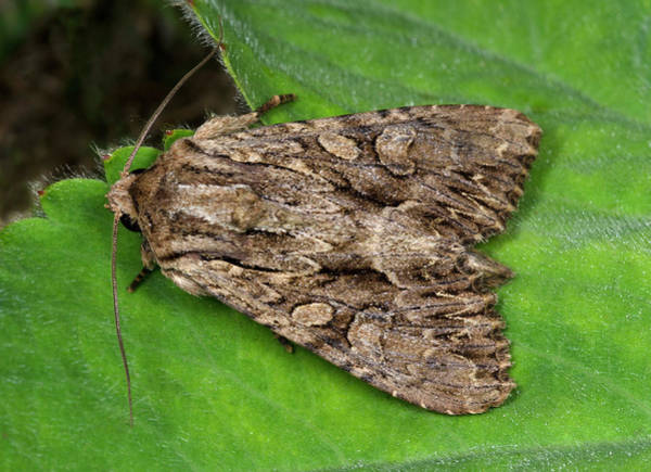 Entomological Photograph - Dark Arches Moth by Nigel Downer
