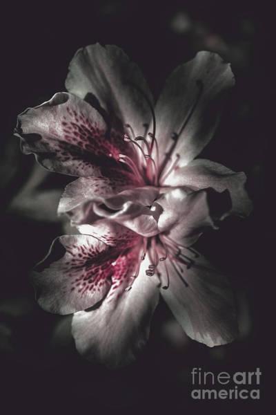 Dim Photograph - Dark Fine Art Azalea Flowers In Nights Shadow by Jorgo Photography - Wall Art Gallery