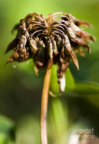 Dof Photograph - Dead Clover Flower by Jorgo Photography - Wall Art Gallery