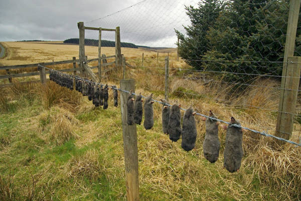 Wall Art - Photograph - Dead Moles On Agricultural Land by Simon Fraser/science Photo Library