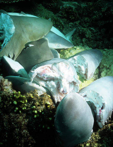 Wall Art - Photograph - Dead Sharks by Louise Murray/science Photo Library