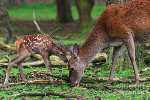 Photograph - Deer With Just Born Calf by Nick  Biemans
