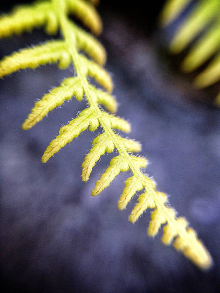 Catskills Photograph - Delicate Yellow by Natasha Marco