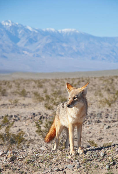Photograph - Desert Coyote  by Darren Bradley
