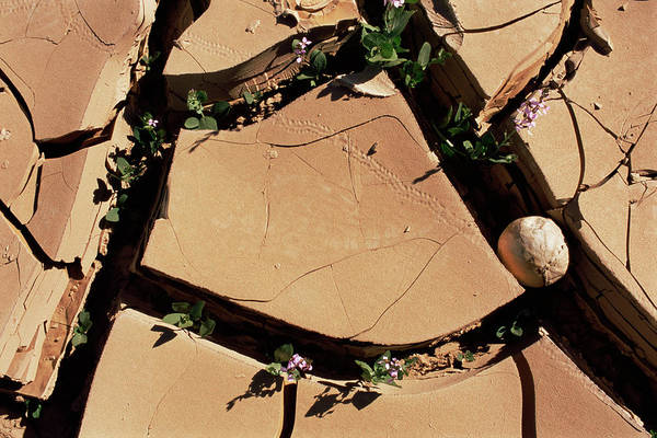 Wall Art - Photograph - Desert Flowers Between Cracks by Sinclair Stammers/science Photo Library