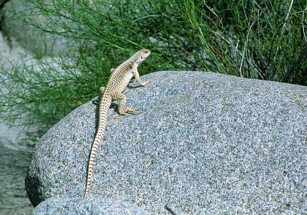 Iguana Photograph - Desert Iguana (dipsosaurus Dorsalis) On A Rock by William Ervin/science Photo Library