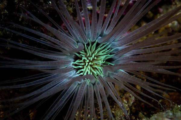 Tube Anemone Photograph - Detail Of The Tentacles Of A Tube by Ethan Daniels