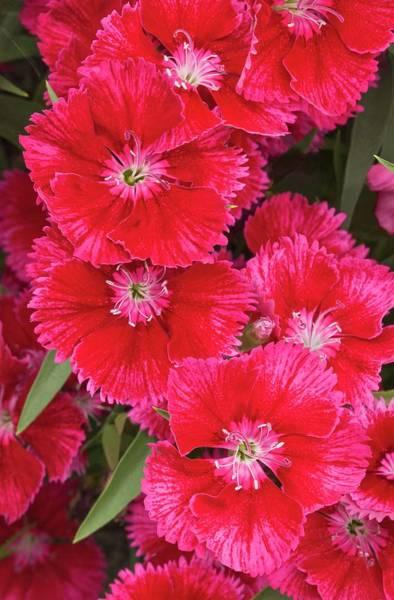 Carnation Photograph - Dianthus 'summer Splash' Flowers by Ann Pickford