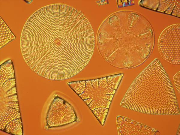 Bacillariophyceae Wall Art - Photograph - Diatoms by Natural History Museum, London