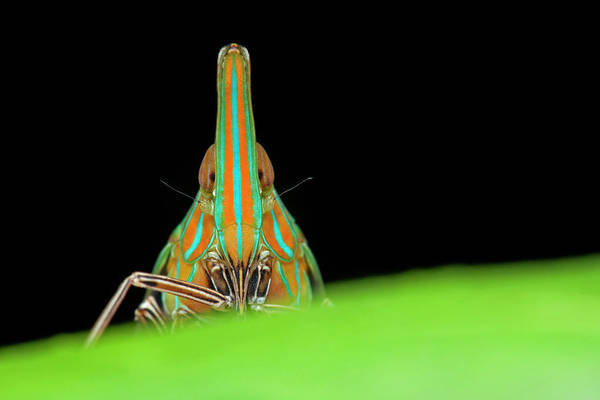 Wall Art - Photograph - Dictyopharid Planthopper by Melvyn Yeo/science Photo Library