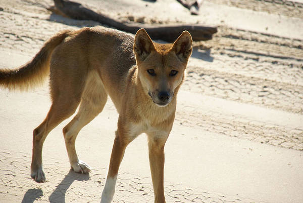 Queensland Digital Art - Dingo by Carol Ailles