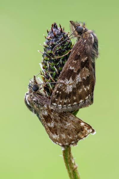 Imago Photograph - Dingy Skipper Butterfly by Heath Mcdonald/science Photo Library