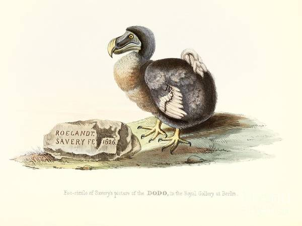 Melville Photograph - Dodo, 1848 Artwork by Royal Institution Of Great Britain