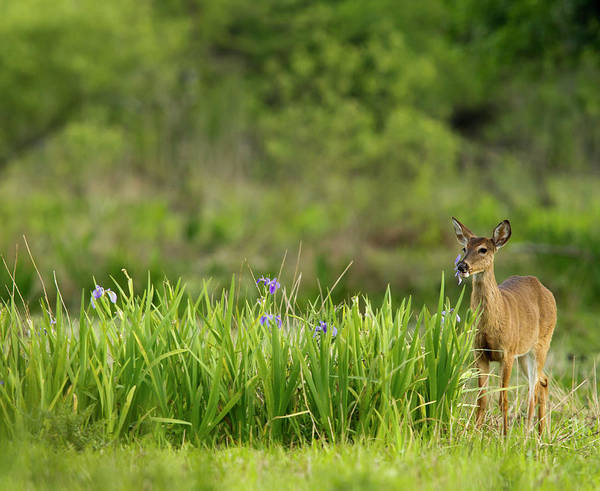 White Tailed Deer Photograph - Doe Feeding On Prairie Iris, Grimes by Maresa Pryor