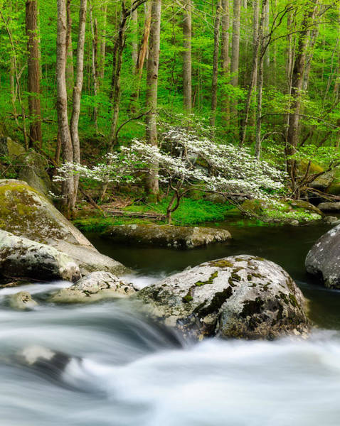 Photograph - Dogwood On Little River by Michael Blanchette