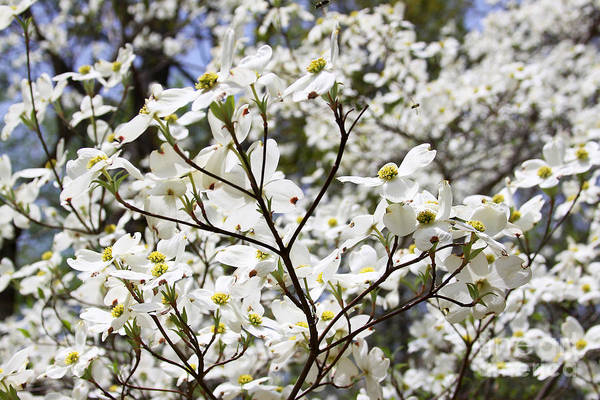 Photograph - Dogwood by PJ Boylan