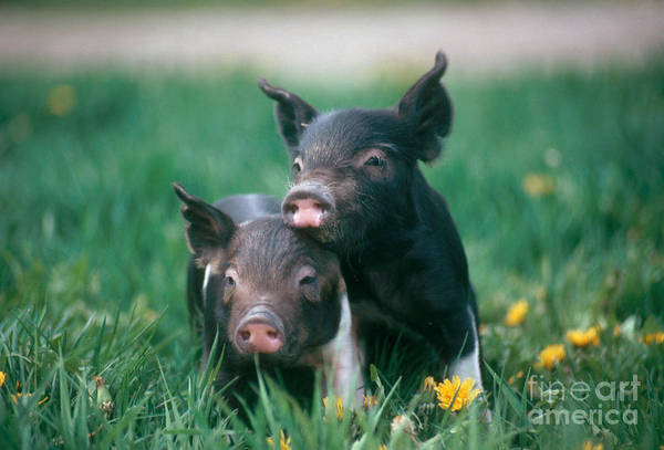 Pig Photograph - Domestic Piglets by Alan Carey