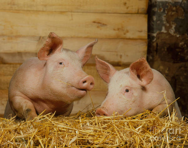 Photograph - Domestic Pigs by Hans Reinhard